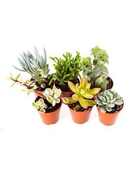 indoor-succulents-mix-6-types-in-mini-55cm-plants