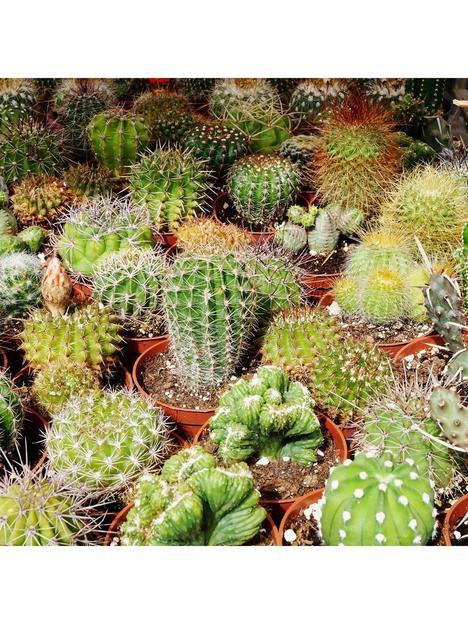 indoor-cactus-mix-6-types-in-55cm-pots
