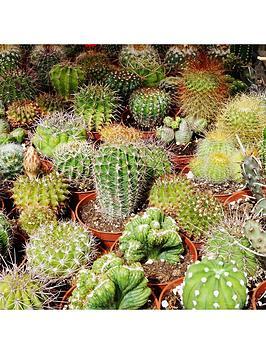 Very Indoor Cactus Mix 6 Types In 5.5Cm Pots Picture