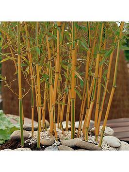 yellow-bamboo-phyllostachys-aureocaulis-5l-pot-100-to-140cm