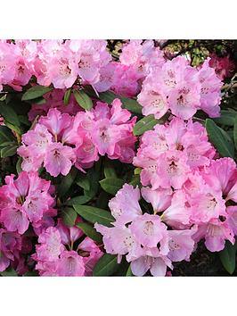 rhododendron-pink-lady-4l-pot