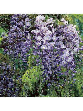 grafted-wisteria-blue-2l-pot-60cm-on-canes