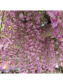 grafted-wisteria-pink-2l-pot-60cm-on-canes