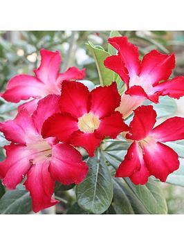 adenium-obesum-rose-of-the-desert-11cm-pot