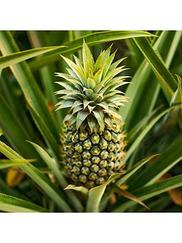 real-pineapple-plant-with-fruit-in-14cm-pot