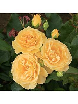 rose-absolutely-fabulous-3l-pot