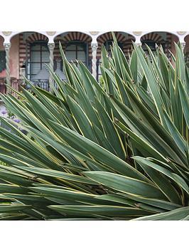 hardy-yucca-gloriosa-variegata-23cm-pot