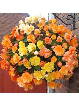 begonia-apricot-shades-20-garden-ready-plants