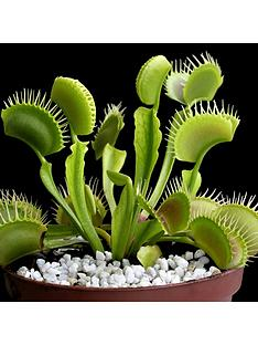 venus-fly-trap-dionaea-12cm-pot