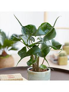 alocasia-stingray-14cm-pot