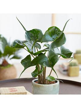 alocasia-stingray-14cm-pot