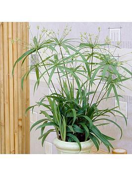 cyperus-papyrus-percamentus-15cm-pot