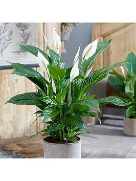Very Spathiphyllum 'Sweet Silver' 14Cm Pot Picture