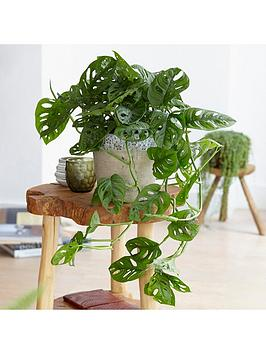 Very Monstera Monkey Leaf Houseplant 14Cm Pot Picture