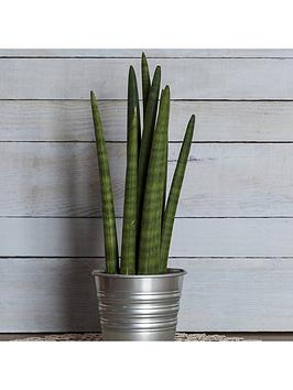 sansevieria-cylindrica-waves-12cm-pot