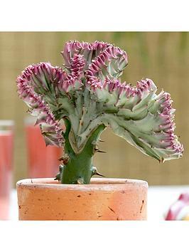 Very  Euphorbia Lactiflora 'Cristata' (Elkhorn) 11Cm Pot