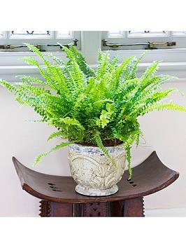 nephrolepis-green-moment-boston-fern-12cm-pot