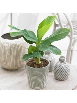 Very  Musa Tropicana Banana Plant 12Cm Pot With Potcover