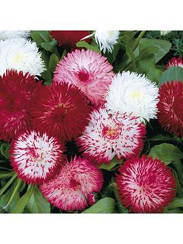 bellis-habanera-mix-20-garden-ready-plants