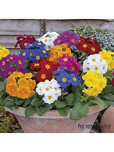 polyanthus-crescendo-mix-20-garden-ready-plants