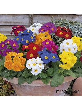 polyanthus-crescendo-mix-20-garden-ready-plants