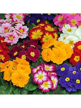 early-primrose-bonelli-mixed-20-garden-ready-plants