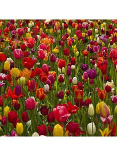 dwarf-tulips-x-50-bulbs-mixed
