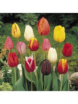 triumph-tall-tulips-mix-x-50-bulbs