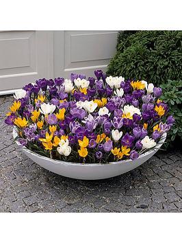 giant-flowered-crocus-x-100-bulbs
