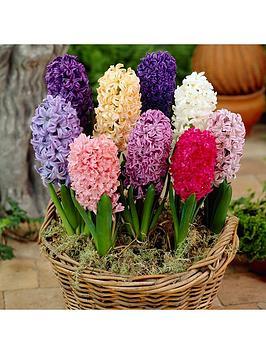 mixed-garden-hyacinths-x-12-bulbs