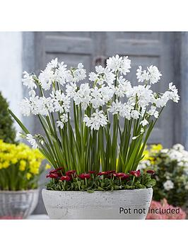 scented-papewhite-indoor-narcissi-x-10-bulbs