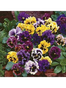 pansy-frizzle-sizzle-20-garden-ready-plants