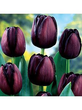 tulip-queen-of-night-x-30-bulbs