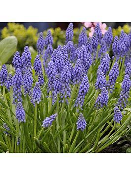 muscari-grape-hyacinth-100-bulbs