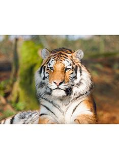 virgin-experience-days-tiger-encounter-for-two-at-dartmoor-zoo