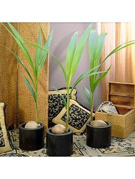 Very Cocos Nucifera -Coconut Palm Tree 3L Picture