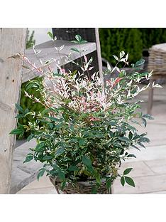 nandina-twilight-2l