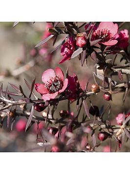 leptospermum-manuka-tea-tree-collection-3-x-9cm