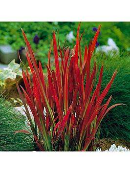 Very Imperata 'Red Baron' (Blood Grass) 9Cm X 3