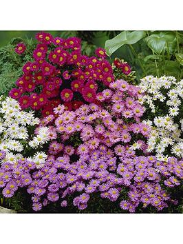hardy-asters-collection-3-x-9cm-pots