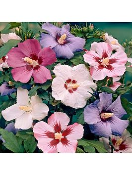 hardy-hibiscus-mixed-x-5-bare-root-trees