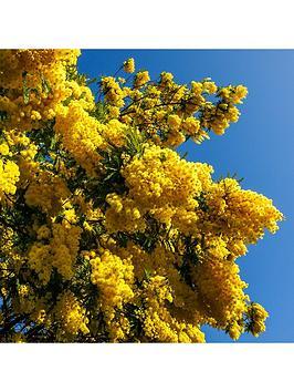 acacia-mimosa-bush-15cm-pot