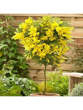 acacia-mimosa-standard-90cm-tall