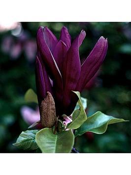 black-flowered-magnolia-genie-p14