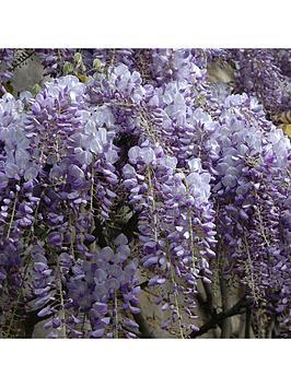 wisteria-amethyst-falls-105cm-pot