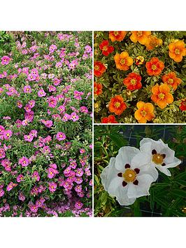 cistus-rock-rose-collection-3-x-9cm