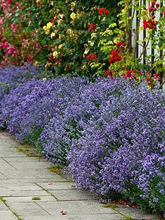 lavender-munstead-pack-of-24