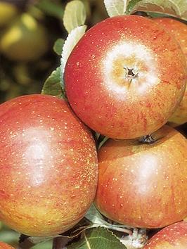 apple-coxs-orange-pippin-5l-pot