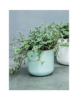 ivyline-real-pilea-glauca-plant-in-pot
