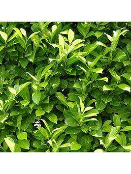 laurel-hedging-plants-9cm-pot